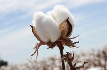 6-benefícios-que-você-não-conhecia-sobre-o-cotton