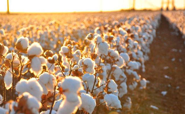 Como o algodão se torna um tecido de alta qualidade?